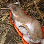 5 bb-buck-with-game-glide-deer-sled-2